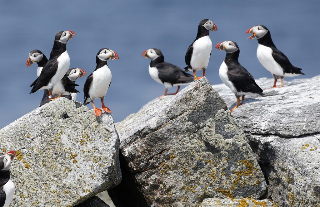 Puffin Mystery